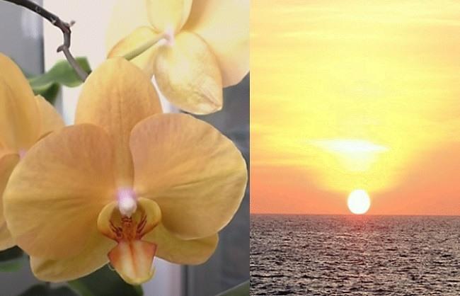 Фото орхидеи африканский закат (карина)