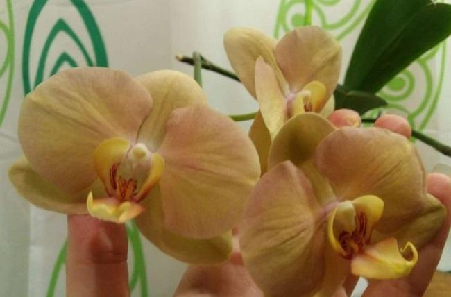 Домашнее цветение орхидеи африканский закат