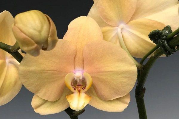 Орхидея Карина