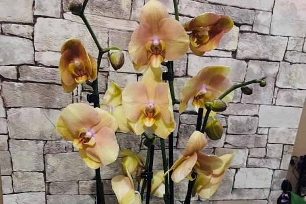 Несколько цветоносов фаленопсиса с цветами