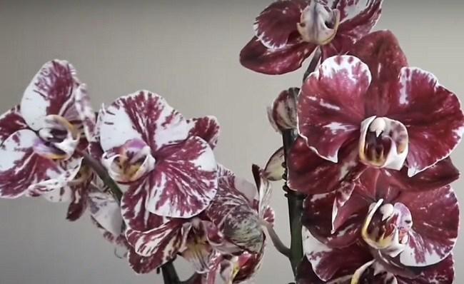 Цветоносы орхидеи Шоколад