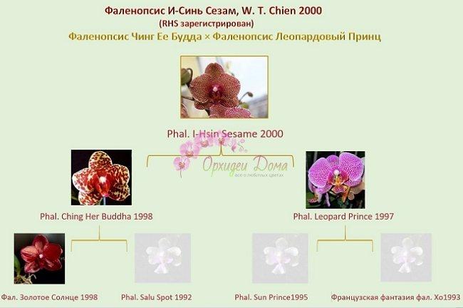 Родословная орхидеи Сезам