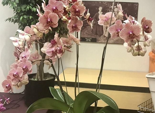 Цветоносы и цветы орхидеи Сезама