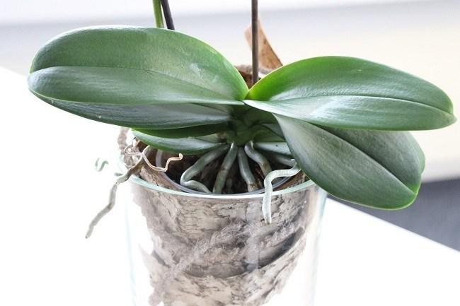 Зеленые листья фаленопсиса