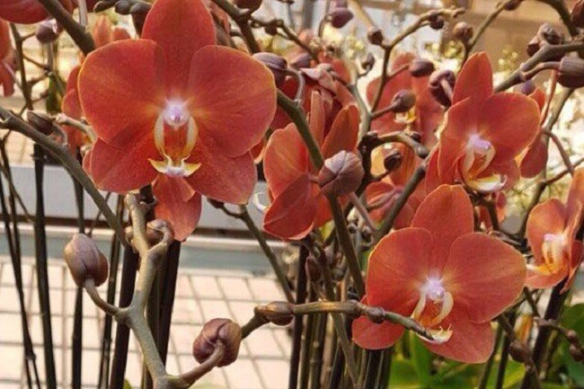 Цветоносы цветущей орхидеи