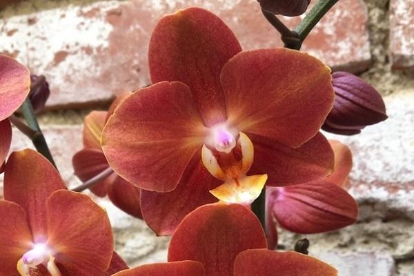 Цветение фаленопсиса Горизонт