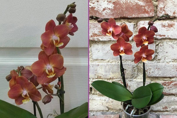 Высокие цветоносы орхидеи