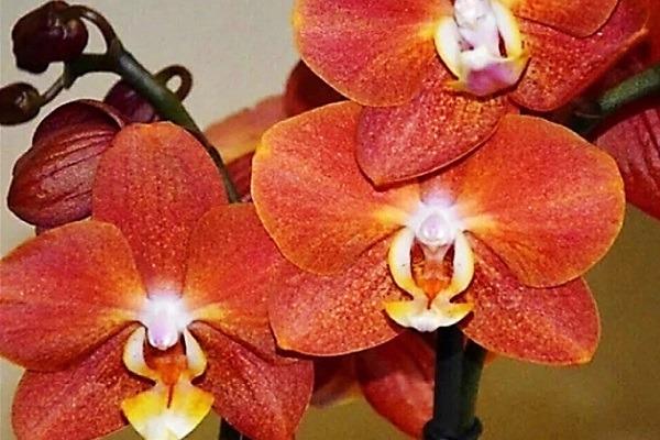 Яркая расцветка орхидеи