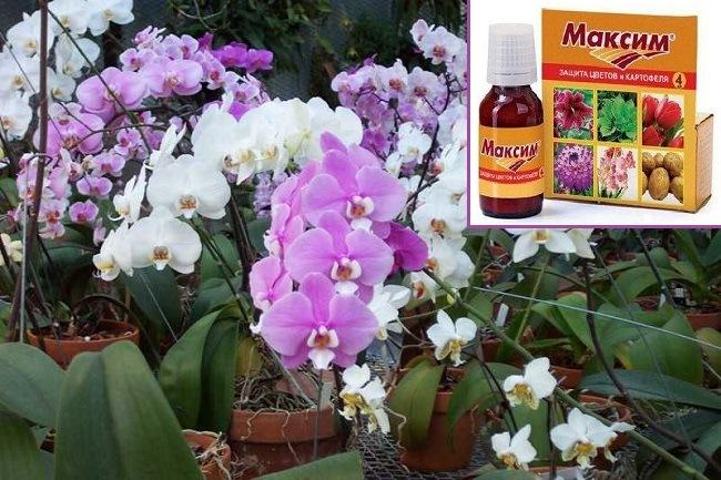 Препарат Максим для орхидей