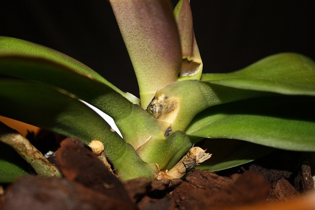 Гниение орхидеи
