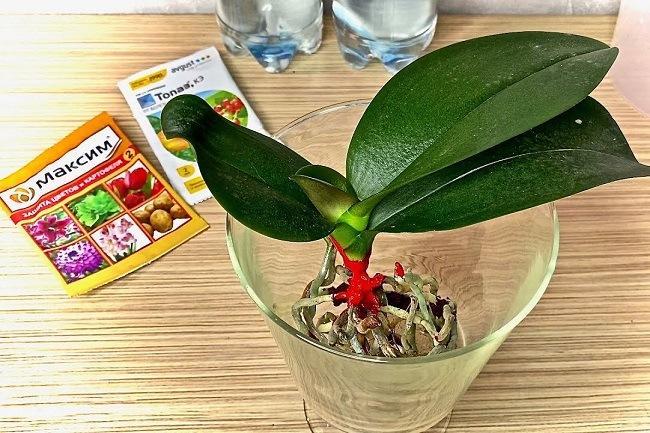 Обработка корней орхидеи Максимом