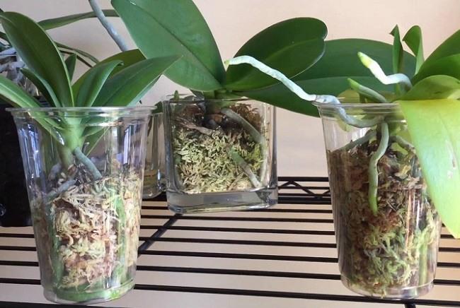 Орхидеи растут во мхе