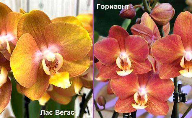 Сравнение орхидей Лас Вегас и Горизонт