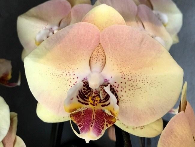 Фото орхидеи мандала