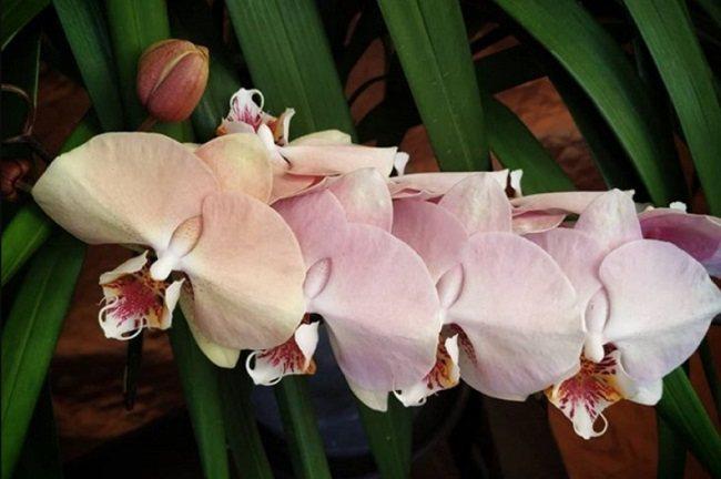 Цветение розовой орхидеи