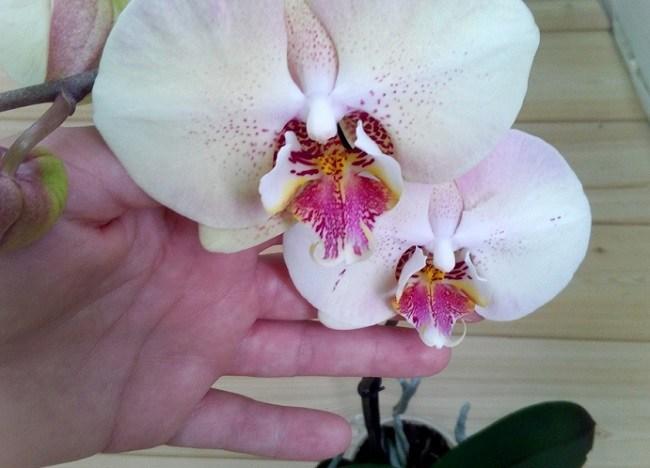 Мандала - домашнее цветение