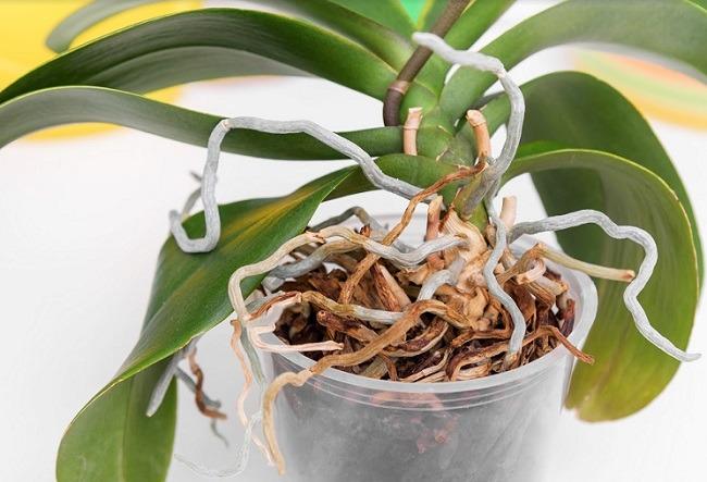 Корни и листья фаленопсиса