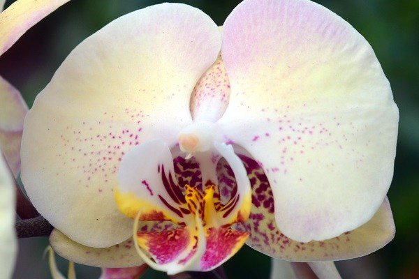 Лепестки фаленопсиса Мандала