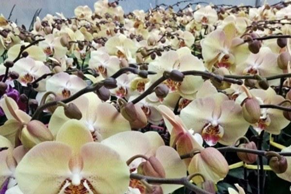 Орхидея манадала