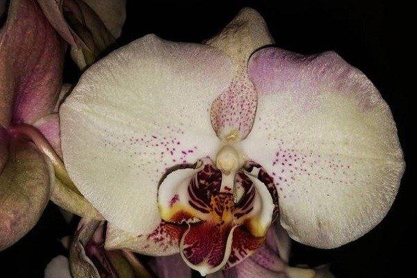 Расцветка фаленопсиса мандала