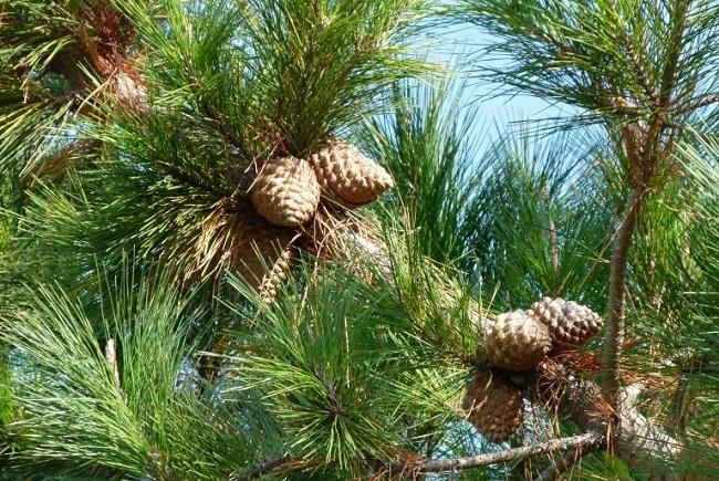 Сосна Pinus radiata
