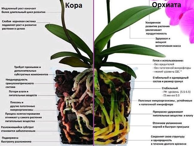 Сравнение орхиаты с обычной корой