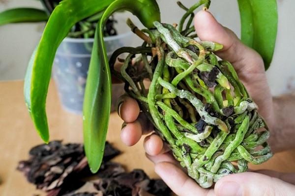 Осмотр корней фаленопсиса