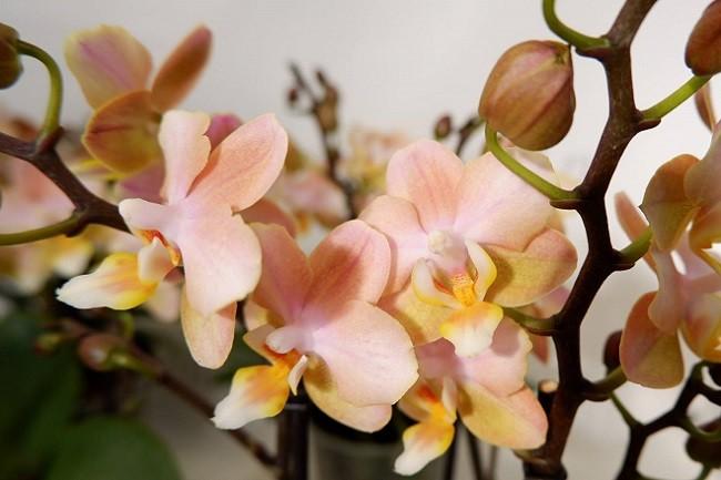 Орхидея парфюмерная фабрика