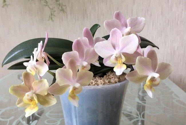 Орхидея парфюмерная фабрика дома