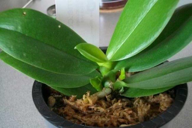Появление новых корней на орхидеи