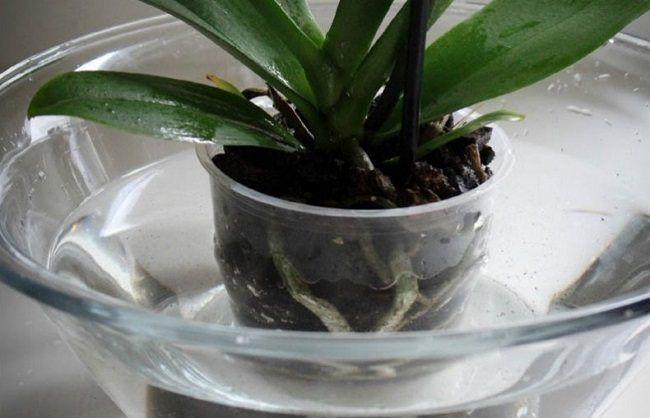 Погружение горшка с орхидеей в раствор Рибав-Экстра