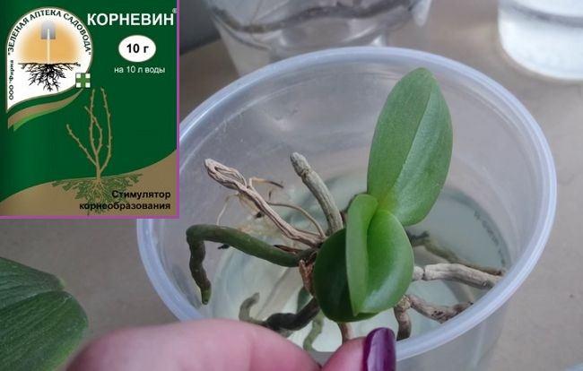 Использование корневина для стимуляции роста корней