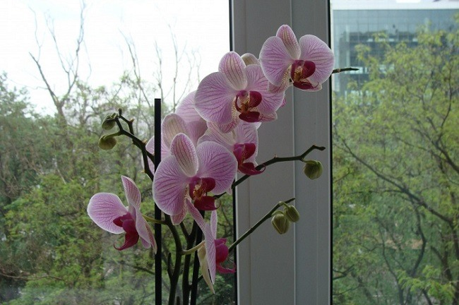 Фаленопсис цветущий у окна