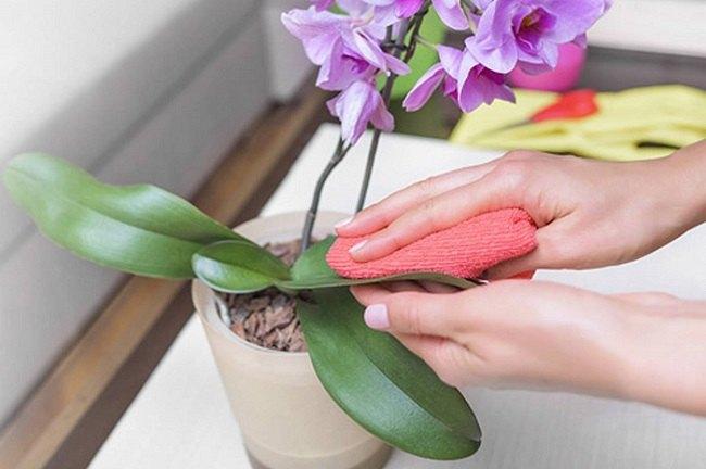 Протирание листьев орхидей