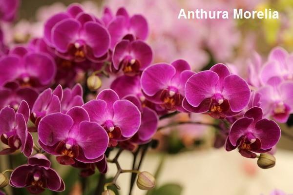 Anthura Morelia