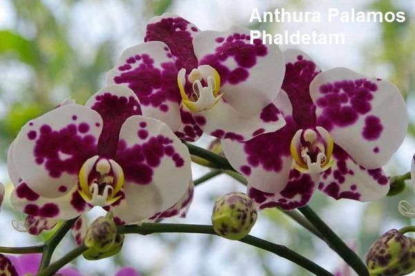 Anthura Palamos Phaldetam