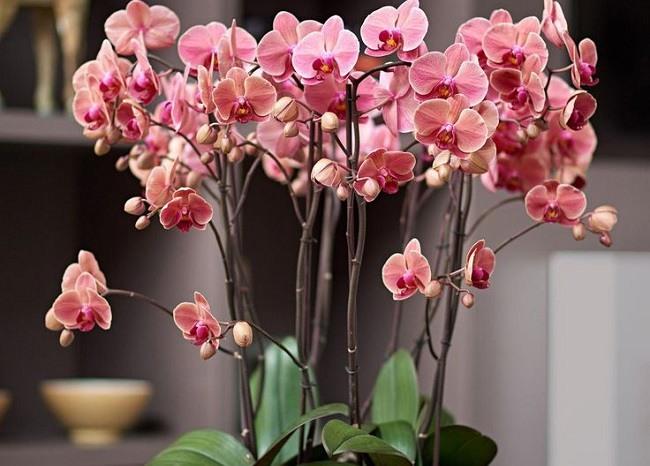 Пышное цветение орхидеи