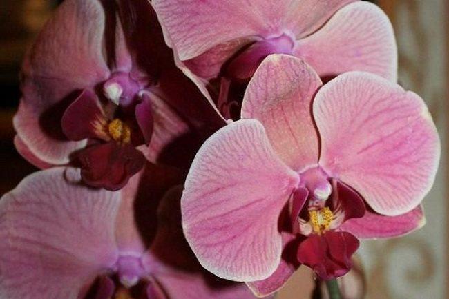 Цветет орхидея Нарбонна