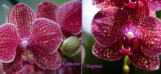 Орхидеи Кимоно и Борнео