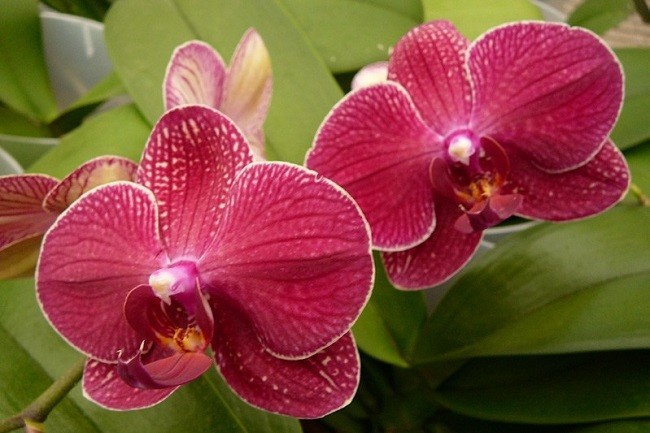Фаленопсис цветет