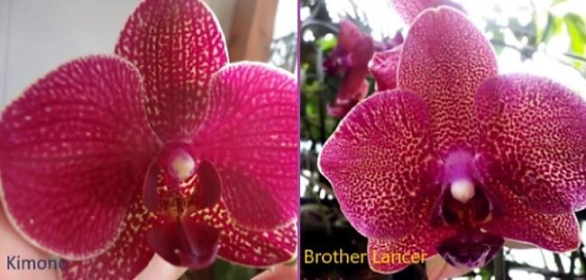 Сравнение орхидей Кимоно и Brother Lancer