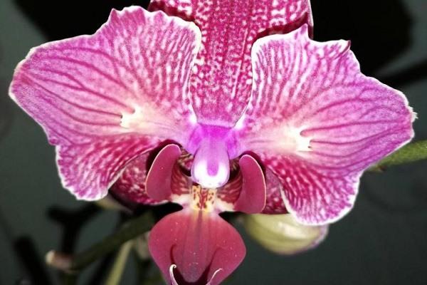 Орхидея Кимоно бабочка