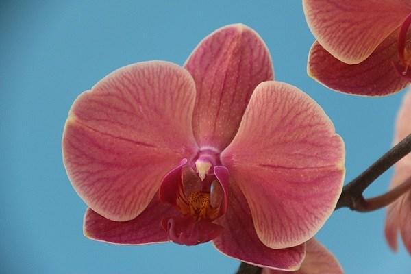 Phalaenopsis Anthura Narbonne