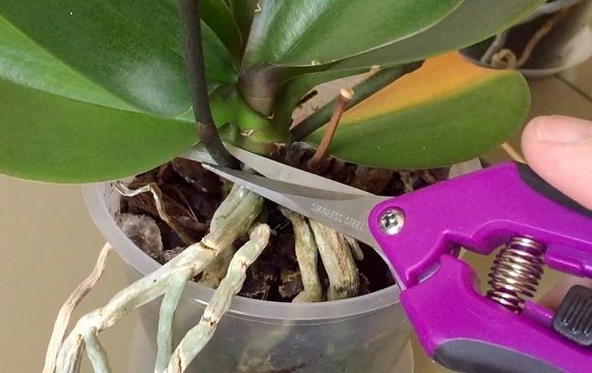 Среза цветоноса фаленопсиса