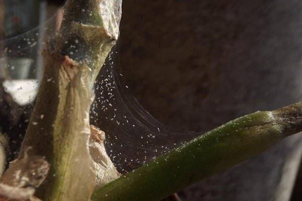 Паутина на орхидее