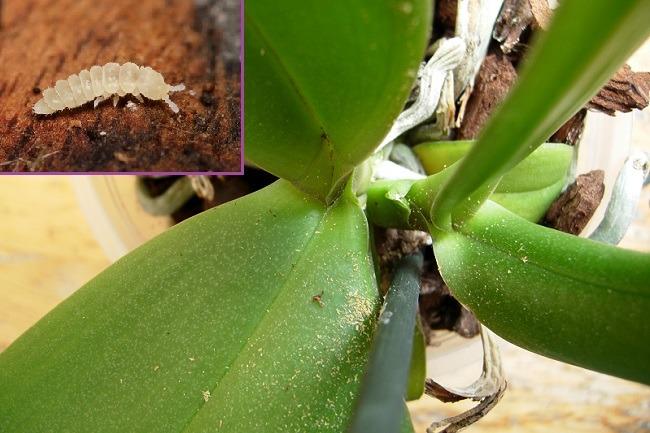 Подуры в орхидее