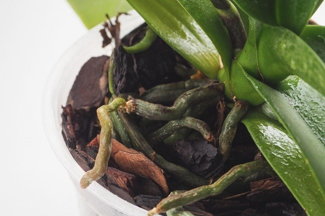 Просушка субстрата орхидеи