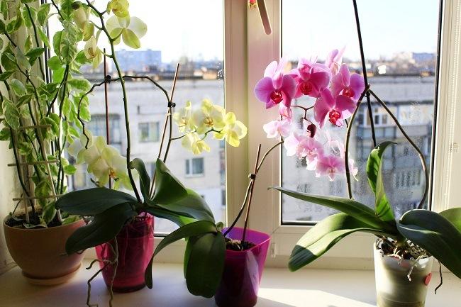 Фаленопсисы возле окна