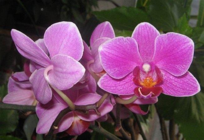 Фото орхидеи Мукалла