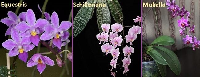 Какие орхидеи являются прородителями Мукаллы